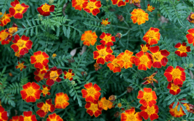 French Marigolds, Voted the Best Partner Plant