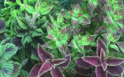 "The ""Carpet"" Plant, Coleus"