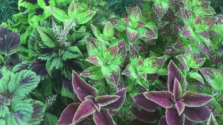 "The ""Carpet"" Plant, Coleus"