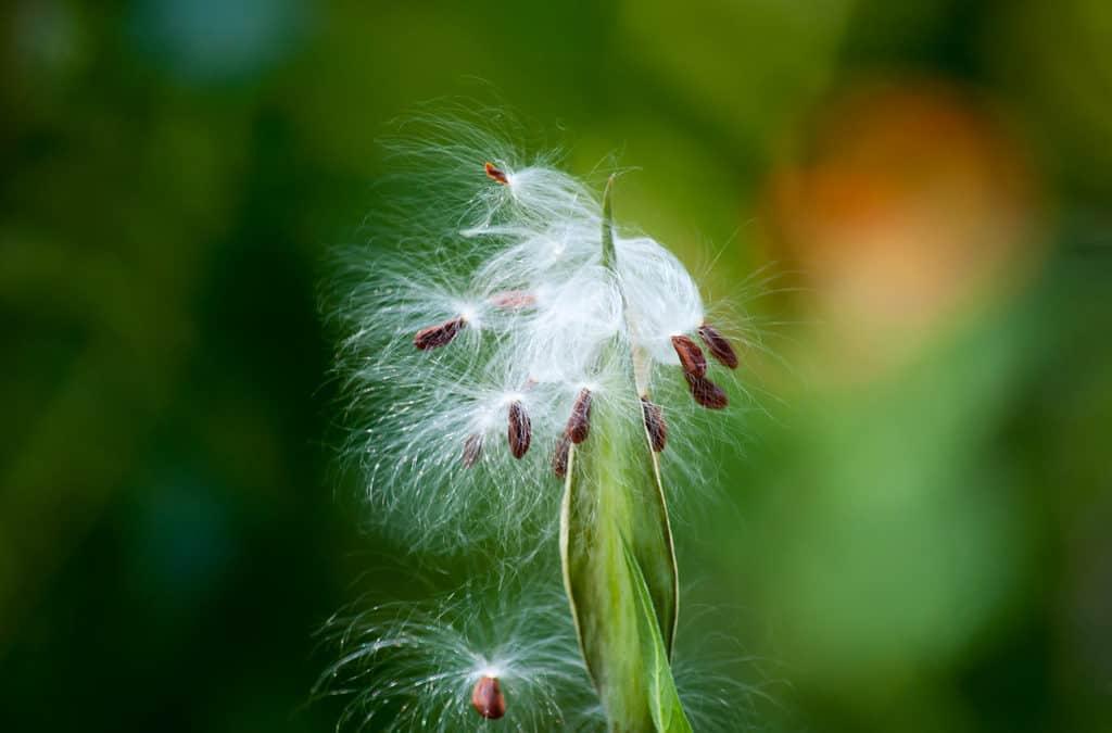 The Mighty Dandelion