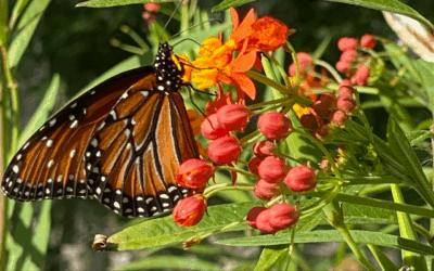 The Magic Butterfly Weed